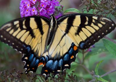 Asheville Butterfly